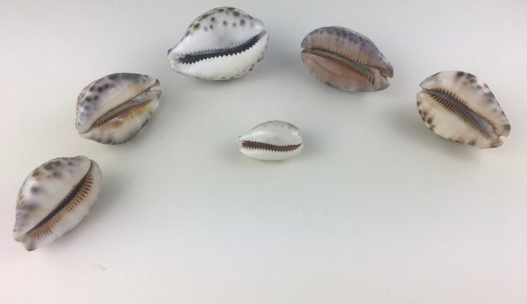 A stunning collection of six natural sea specimens including Trivia Europaea, Cypraea Tigris, and Cyprae Lynx.   These shells are very rare, vivid beauties, stunning shells with incredible color, a smooth glossy dorsum, a whitish base and all with a