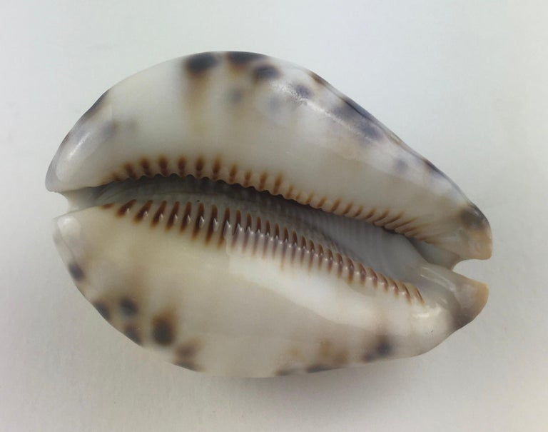 Stunning Collection of Six Natural Sea Shells or Specimens For Sale 1
