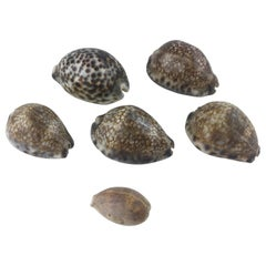 Stunning Collection of Six Natural Sea Shells or Specimens