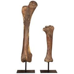 Stunning Pleistocene Era Natural Mammoth Femur & Tibia, Yakutia 'Siberia'