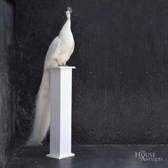 Stunning Rare Taxidermy White Peacock Mounted on a White Plinth