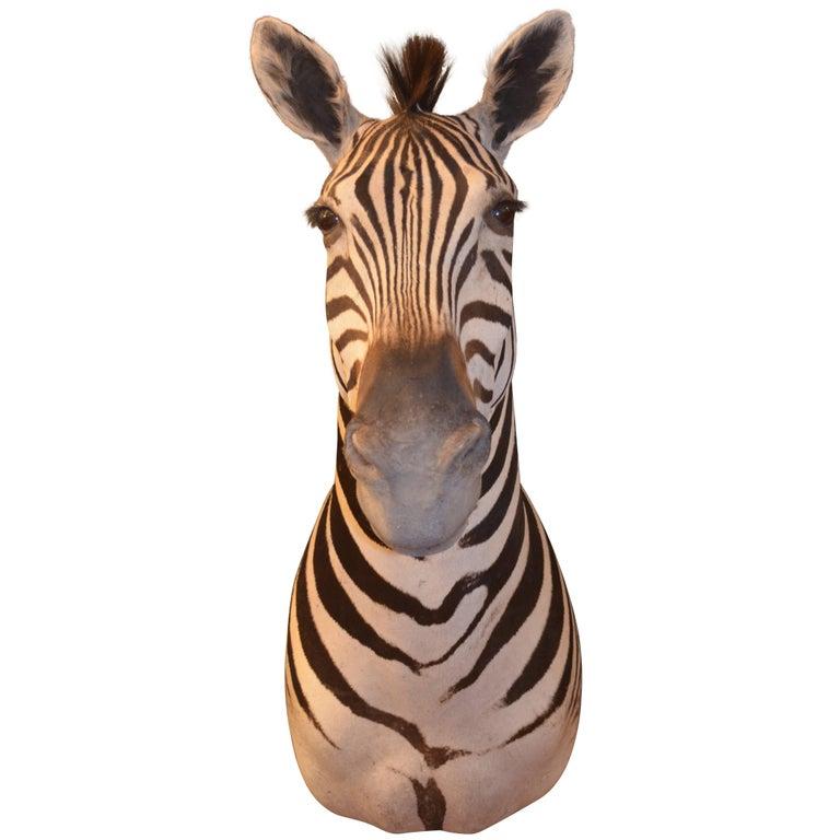 Superb Quality Taxidermy Burchells Zebra Shoulder Mount