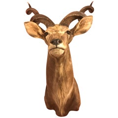 Superb Taxidermy Head and Chest of a Greater Kudu