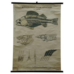 Swedisch Vintage Rollable Black and White Wall Chart Skeleton of a Fish