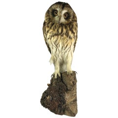 Tawny or Wood Owl