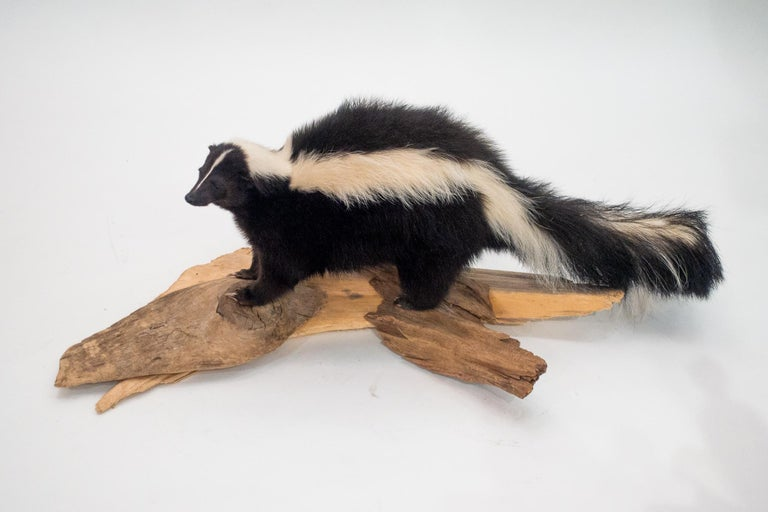 Beautifully mounted black and white taxidermy skunk on a naturalist wood base. Your own Pepe le Pew!!