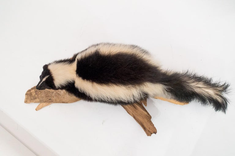 Taxidermied Skunk Mounted on a Naturalistic Wood Base In Good Condition For Sale In New York, NY
