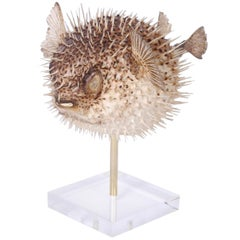 Taxidermy Blowfish on Stand