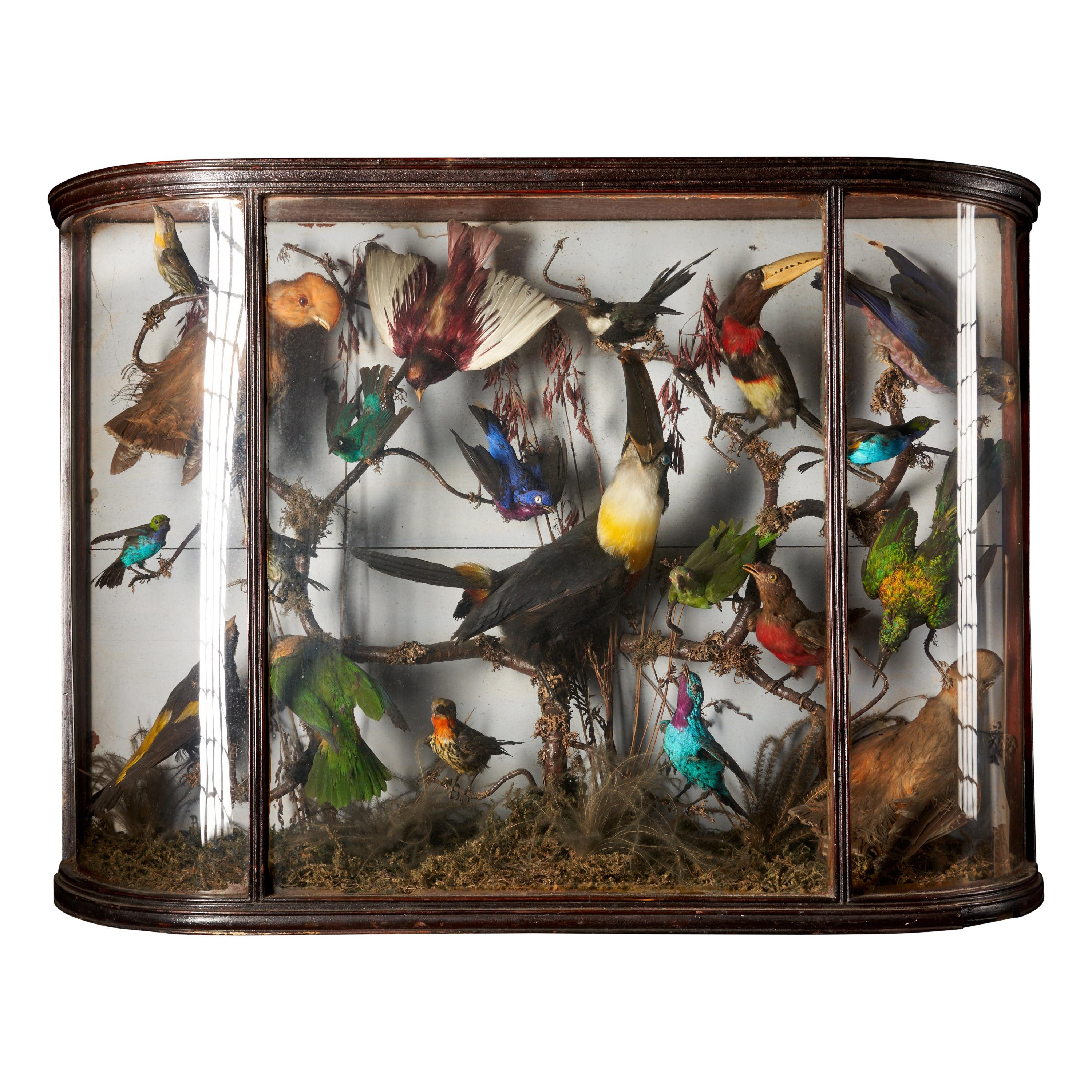 Taxidermy Composition with Rare Exotic Birds in a Large Bowed Glass Case
