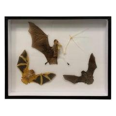 Taxidermy Display Bat Species, Wood, Glass