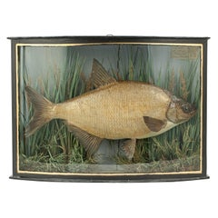 Taxidermy Fish in Bowfronted Case, Bream, Stuffed Fish, River Colne
