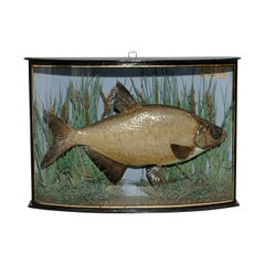 Taxidermy Fish in Bowfronted Display Case, Bream