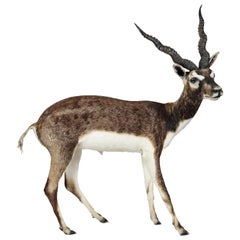 Taxidermy Free-Standing Blackbuck Antelope