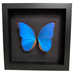 Taxidermy Giant Morpho Butterfly in Glass Wood Case