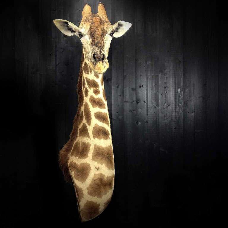 This is the ideal size for a giraffe in your house or office.  You don't need a castle for this one.  It is high quality made and has no damage or wear.  Note:  This is a legally obtained animal and will be delivered with the necessary