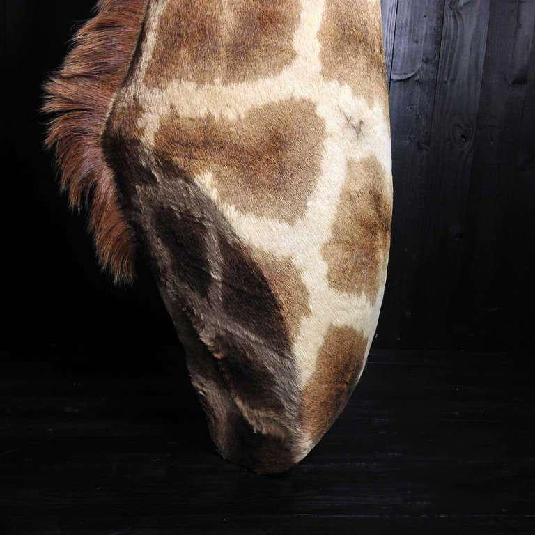 Taxidermy Giraffe 3/4 Neck Mount In Excellent Condition For Sale In Haarlem, NL