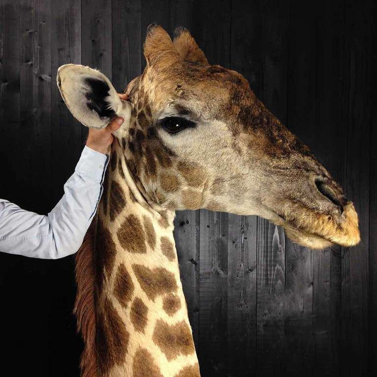 Contemporary Taxidermy Giraffe 3/4 Neck Mount For Sale