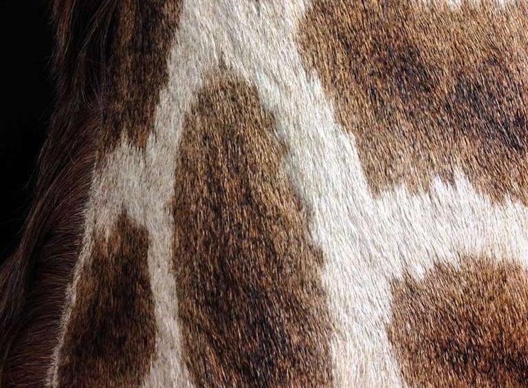 Taxidermy Giraffe 3/4 Neck Mount For Sale 1