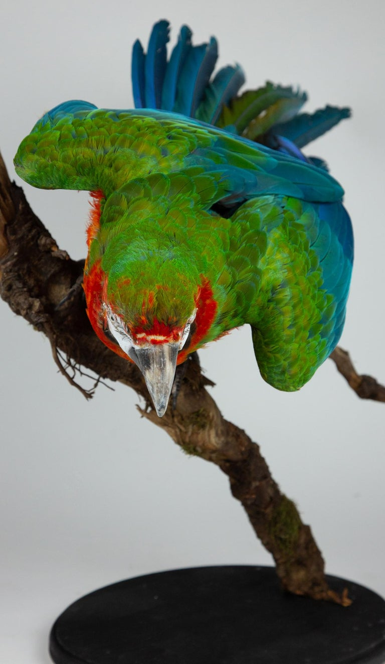 Taxidermy Macaw In Excellent Condition In New York, NY
