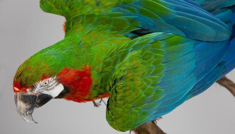 Wood Taxidermy Macaw