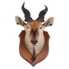 Taxidermy Mounted Eland Head