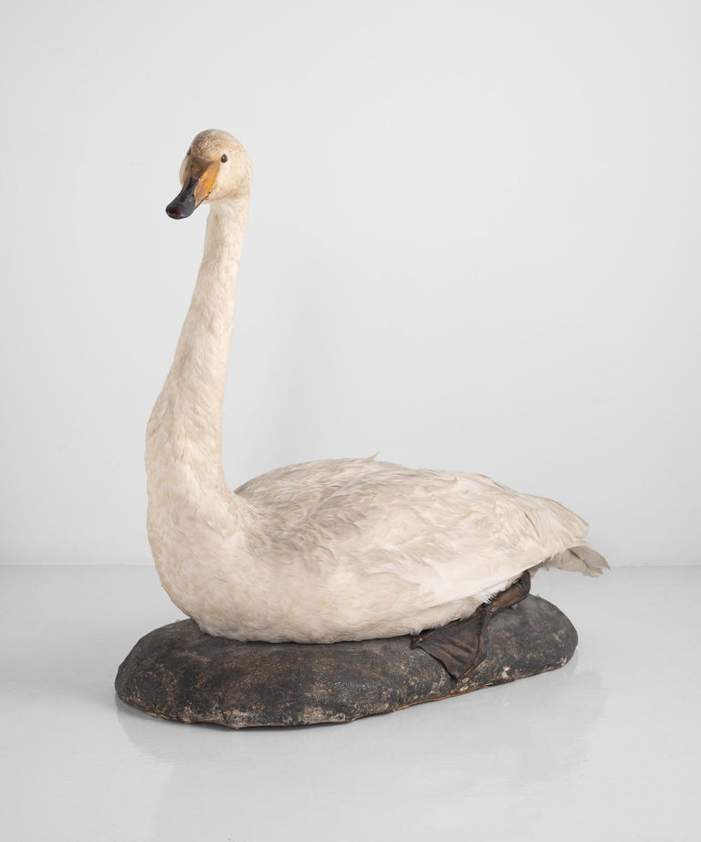 Taxidermy mute swan, England, circa 1930.  Sits at rest on a simple base.