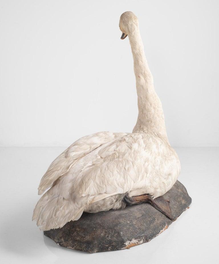 Taxidermy Mute Swan, England circa 1930 In Good Condition In Culver City, CA