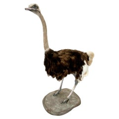 Taxidermy Ostrich