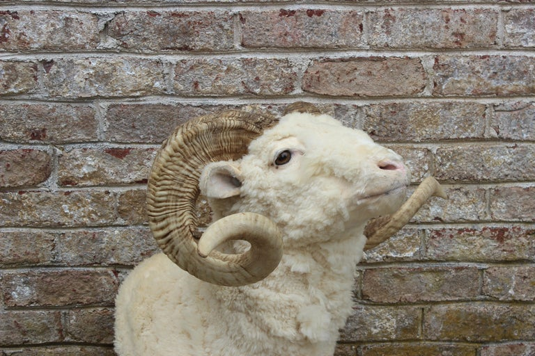 Taxidermy ram wall mount.