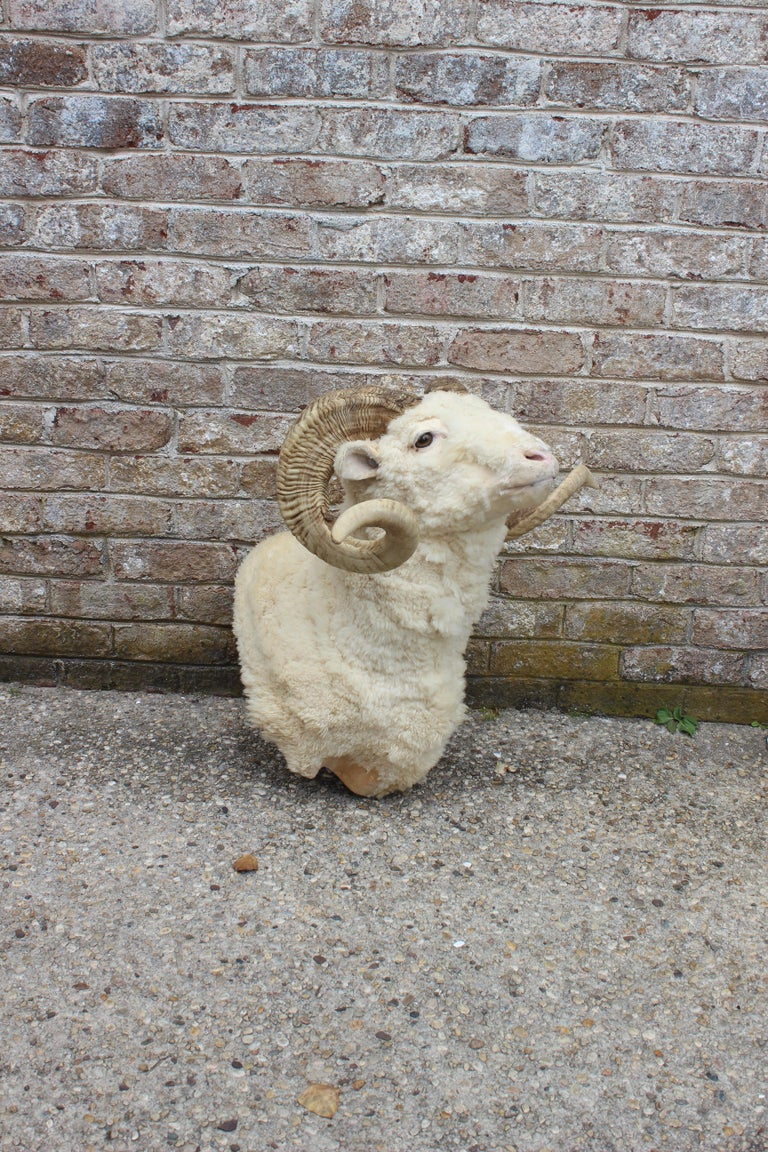 Taxidermy Ram Wall Mount In Good Condition For Sale In East Hampton, NY