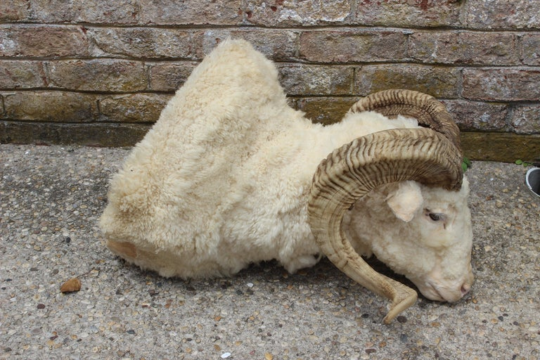 Sheepskin Taxidermy Ram Wall Mount For Sale