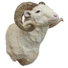Taxidermy Ram Wall Mount