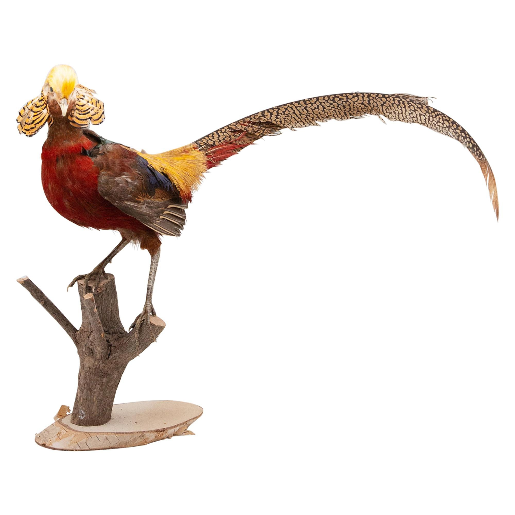 Taxidermy Red Golden Pheasant