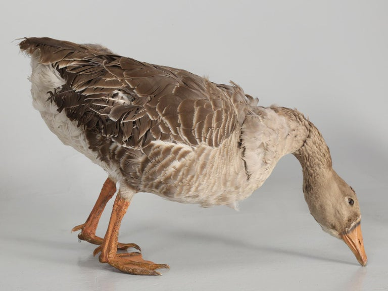 Taxidermy Roosters, Ducks and Even a Goose