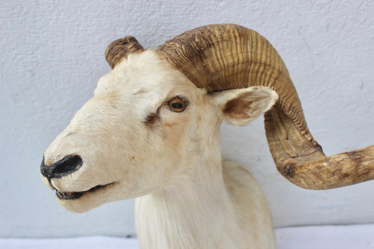 20th Century Taxidermy Sheep Wall Mount For Sale