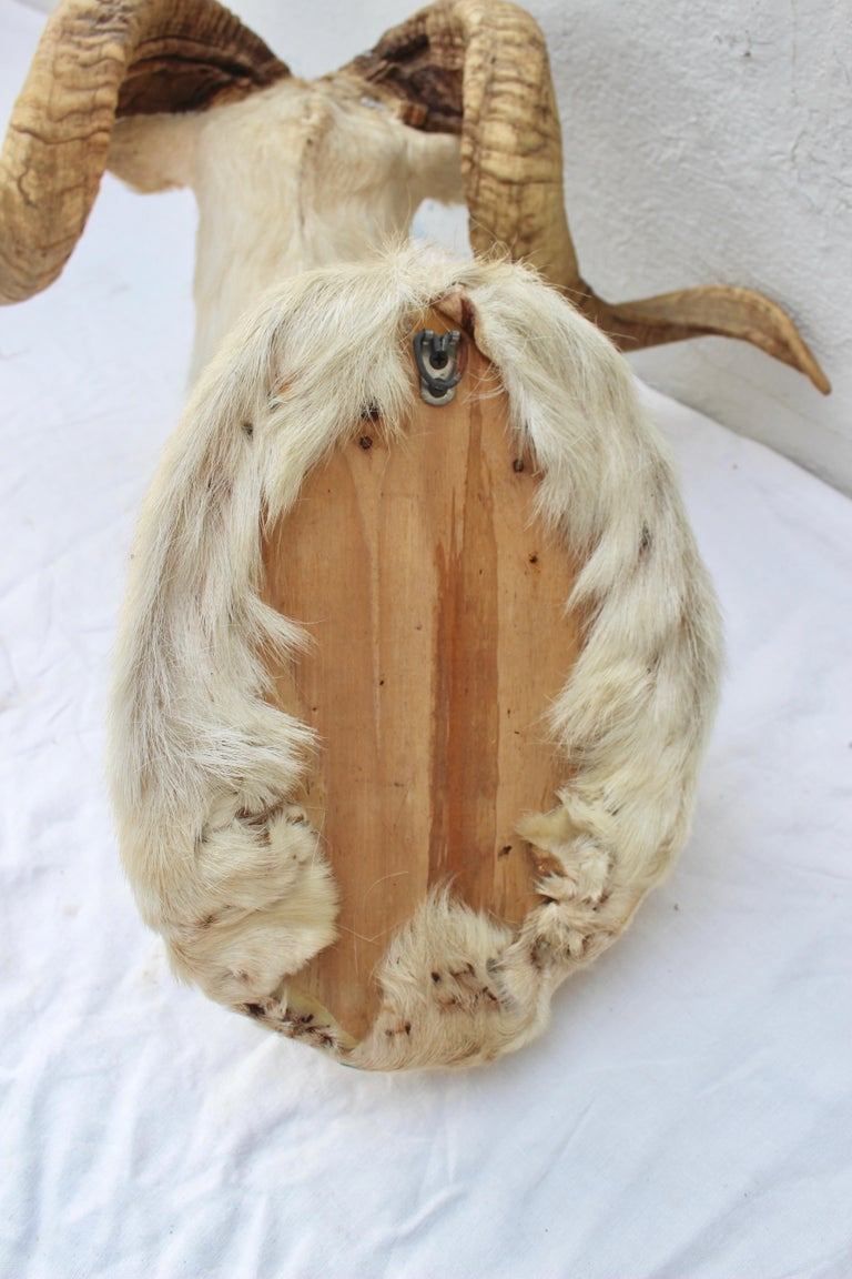 Taxidermy Sheep Wall Mount For Sale 2