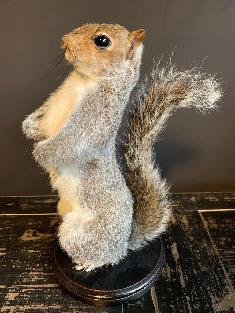 Recently made taxidermy super squirrel. The squirrel is completely handmade and died a natural death.
