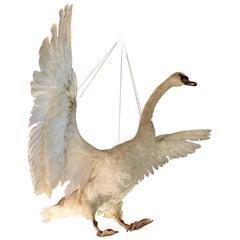 Taxidermy Swan in Flight