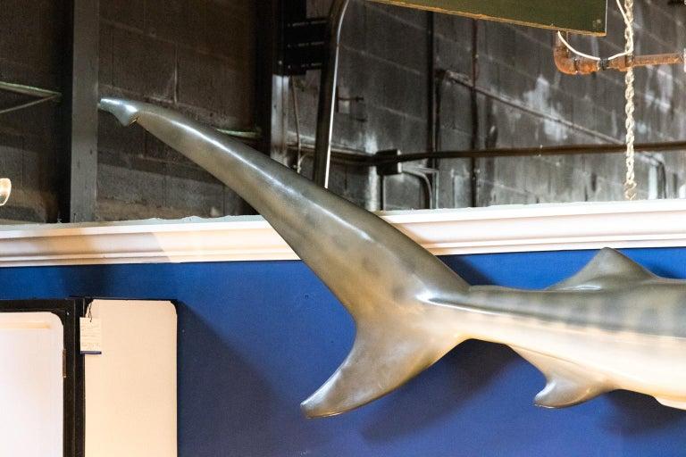 Taxidermy Tiger Shark
