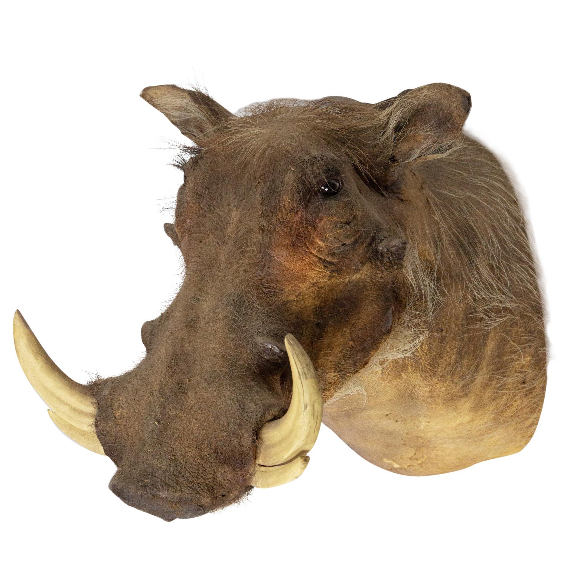 Taxidermy Warthog