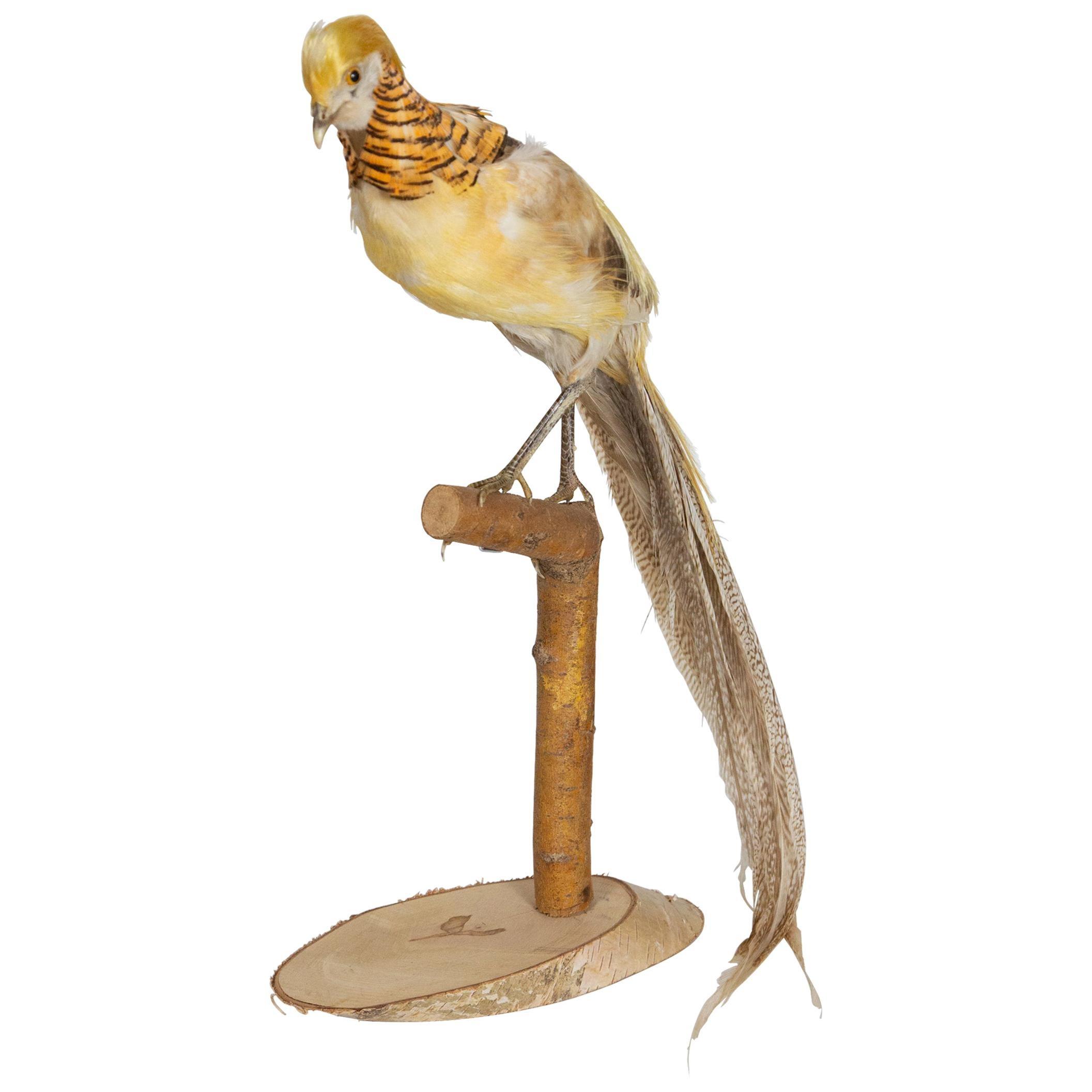 Taxidermy Yellow Golden Pheasant