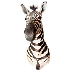 LargePremier Quality Taxidermy Burchell's Zebra Shoulder Mount, South Africa