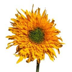 Teddy Bear Sunflower by Michael Zeppetello