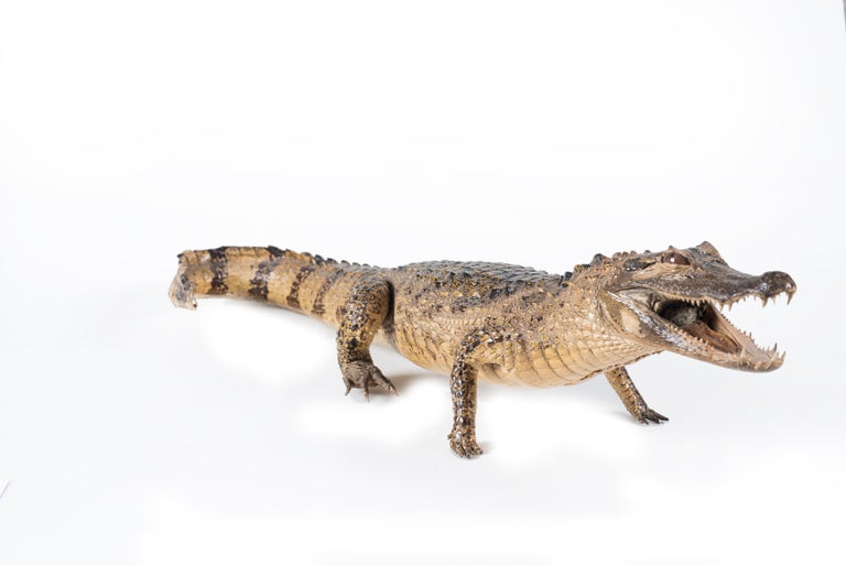 African Three Vintage Embalmed Crocodiles, First Half of the 20th Century For Sale