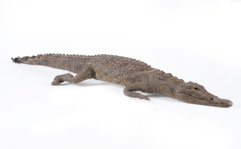 Three Vintage Embalmed Crocodiles, First Half of the 20th Century In Good Condition For Sale In Roma, IT