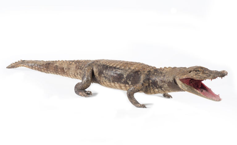 Three Vintage Embalmed Crocodiles, First Half of the 20th Century For Sale 1