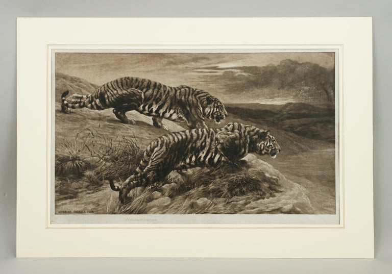 Tiger rtching by Herbert Dicksee, the Destroyers A very strong black and white wildlife picture of a pair of Tigers crouching on some rocks overlooking the open grassland below. The powerful etching is by Herbert Thomas Dicksee, published September