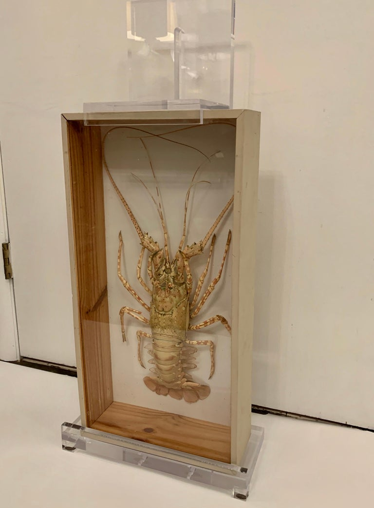 This vintage taxidermy lobster with great coloring and preserved beautifully in a shadow box. This is sold together with the custom Lucite table top easel. Boxed Lobster only dimensions: 22.75 height, 12 inches wide, 4.5 inches deep.