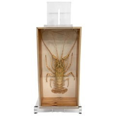 Tiger Lobster Taxidermy Encased in Box, Mounted on Custom Lucite Easel