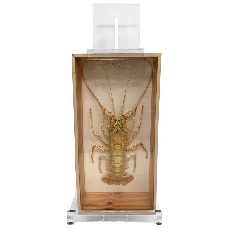 Tiger Lobster Taxidermy Encased in Box, Mounted on Custom Lucite Easel For Sale